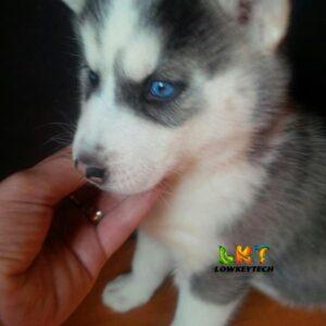 blue eyed huzky